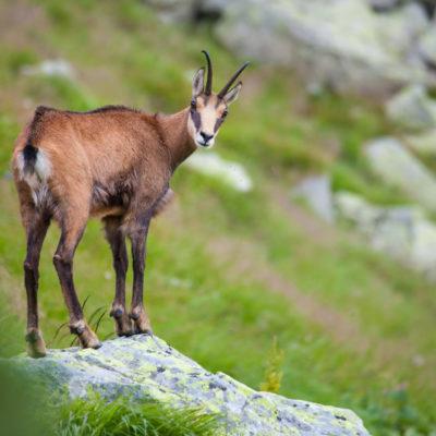 De nombreux chamois peuvent être observés au niveau du lac blanc et depuis les Crêtes. Onze chamois ont été introduits en 1956 dans notre belle et naturelle région. Ils proviennent de la forêt noire qui se trouve en Allemagne. Quand il fait beau on peut l'apercevoir depuis les Crêtes. Cette espèce de mammifère s'est reproduit et vit maintenant paisiblement en liberté.